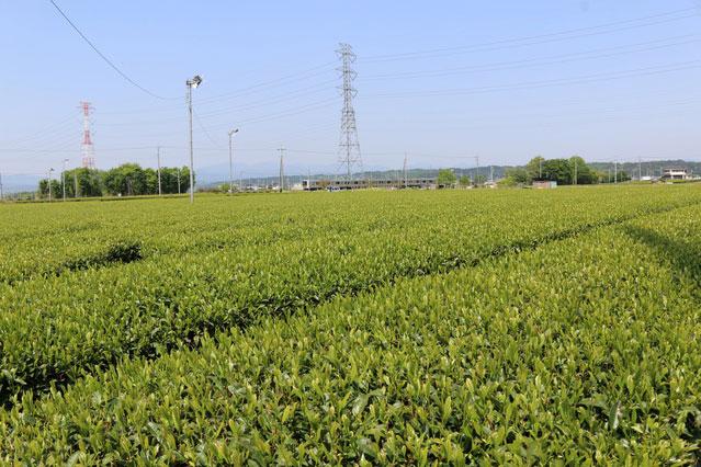 入間の茶畑(写真提供:photolibrary)
